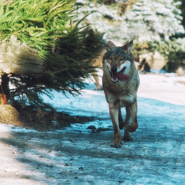 """""""close up on running wolf in the forest"""" stock image"""