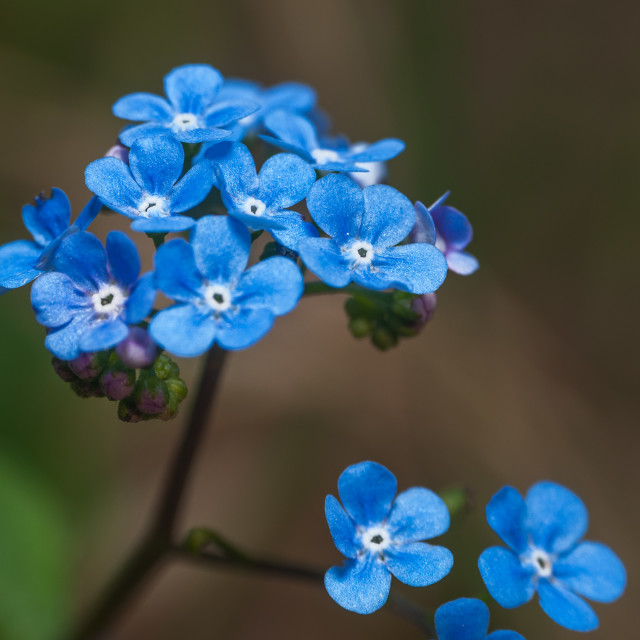 """""""close up on blue flower """"forget me not"""""""" stock image"""