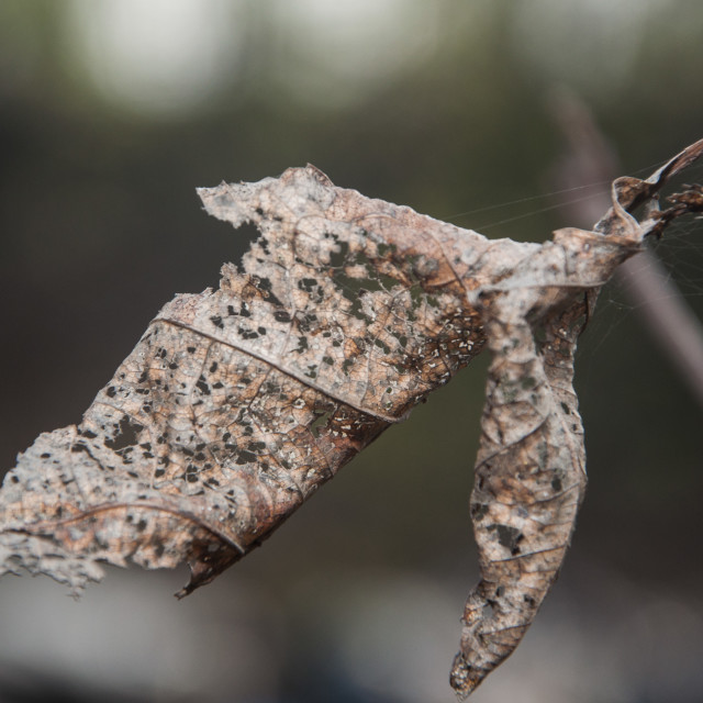 """""""close up on old dying leaf on the tree"""" stock image"""
