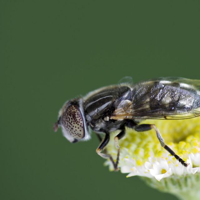 """""""Large spotty-eyed dronefly {Eristalinus aeneus) on a flower"""" stock image"""