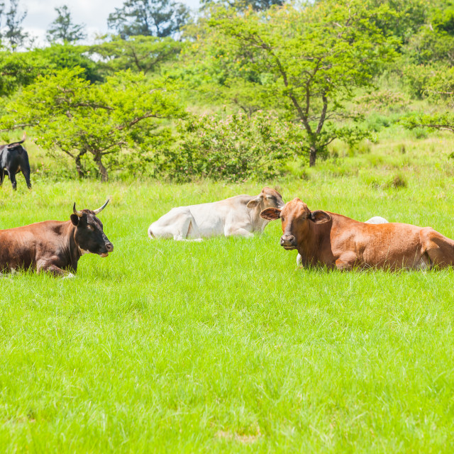 """""""Cows Cattle Resting"""" stock image"""