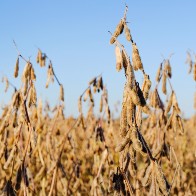"""Soybeans Field"" stock image"