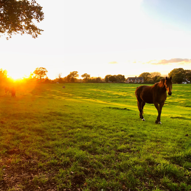 """""""Horse in a field at sunset"""" stock image"""