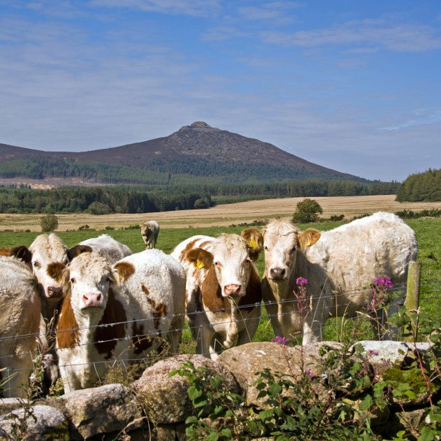 """Bennachie & Cattle"" stock image"