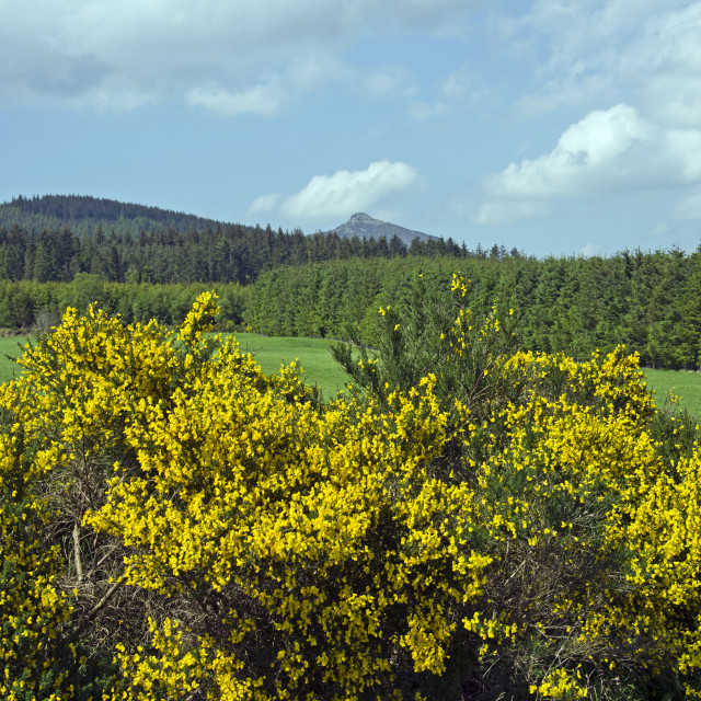 """Bennachie Blairdaff Broom"" stock image"