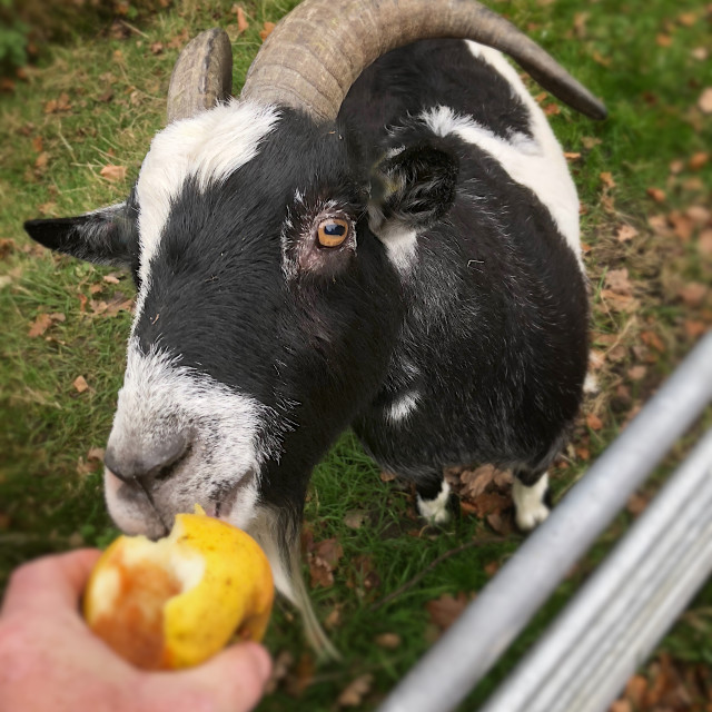"""Goat eating an Apple"" stock image"