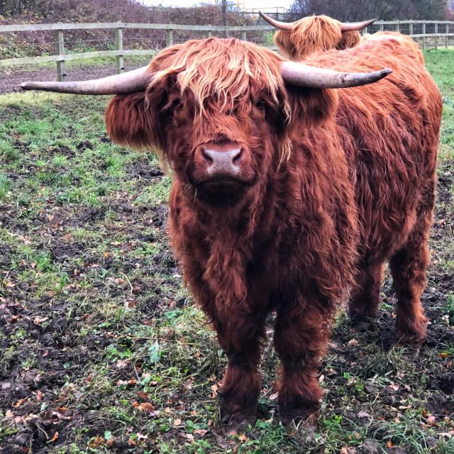 """Longhorn Cattle"" stock image"
