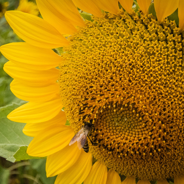 """""""Sunflower and a Bee"""" stock image"""