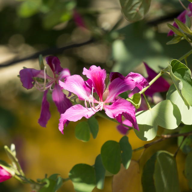 """""""Pink flower or Bauhinia flower"""" stock image"""