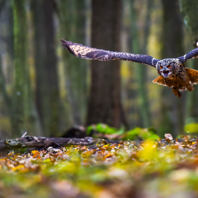 """Eagle owl in flight"" stock image"