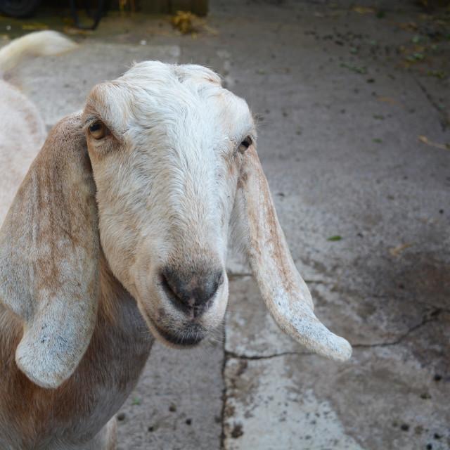 """Portrait Of A Goat"" stock image"