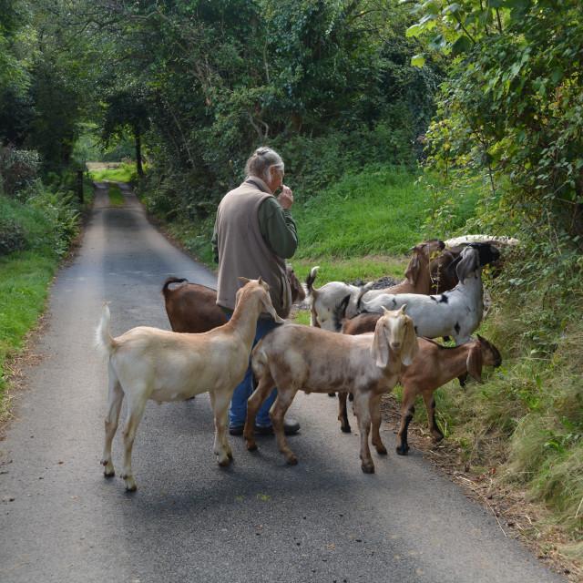 """""""The Little Goat Herd"""" stock image"""