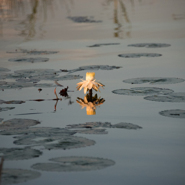 """""""Water Lilly with reflection in water"""" stock image"""