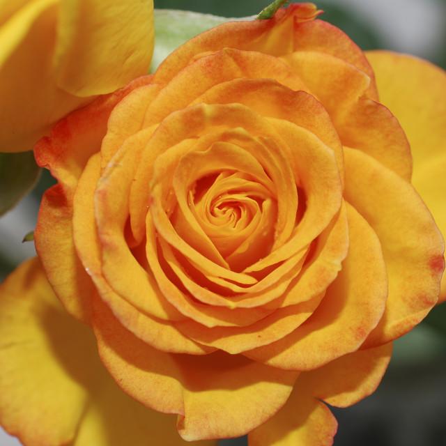 """""""Yellow pink rose"""" stock image"""