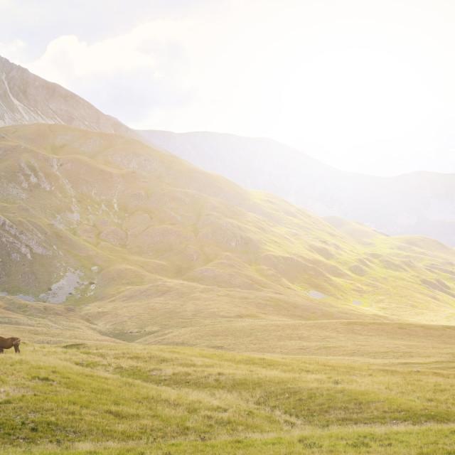 """""""Italy, Abruzzo, Gran Sasso e Monti della Laga National Park, Horses in..."""" stock image"""