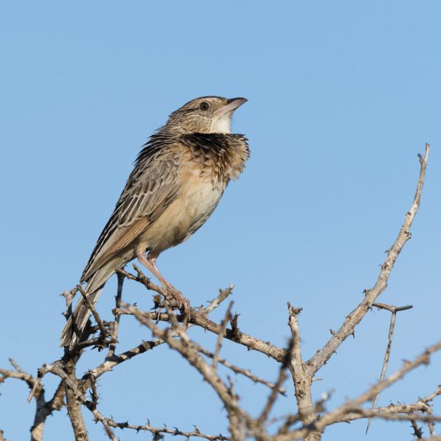 """A red-winged lark, Mirafra hypermetra, perching. Tsavo, Kenya."" stock image"