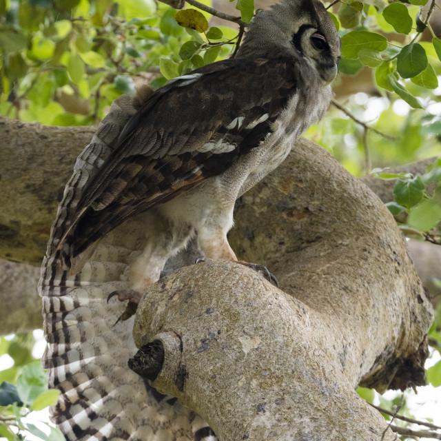 """A Verreaux's eagle-owl, Bubo lacteus) in a tree, Tsavo, Kenya."" stock image"
