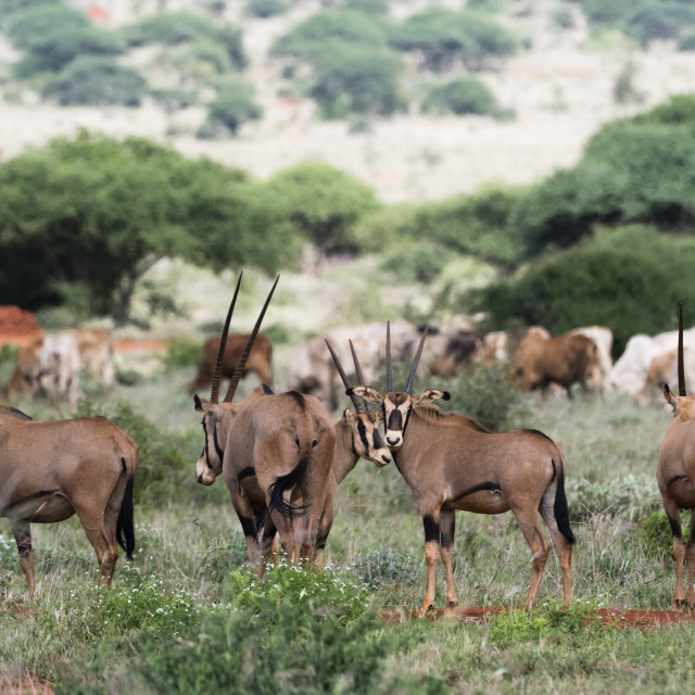 """""""East African oryx, Oryx beisa, passing by a cattle herd illegaly grazing in..."""" stock image"""