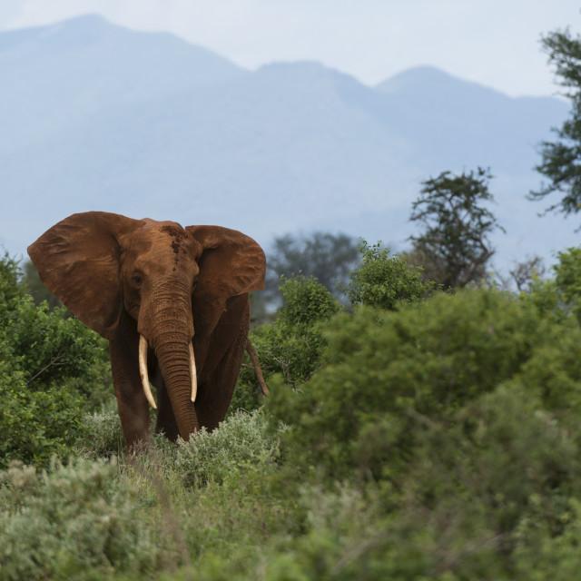 """An African elephant, Loxodonta africana, walking in the bush Tsavo, Kenya."" stock image"