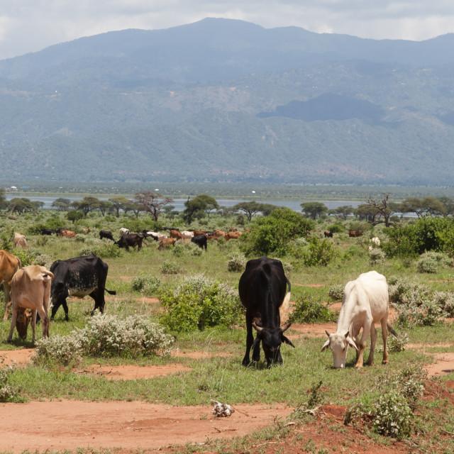 """Catle illegally grazing into the Tsavo West National Park near lake Gipe, Kenya."" stock image"