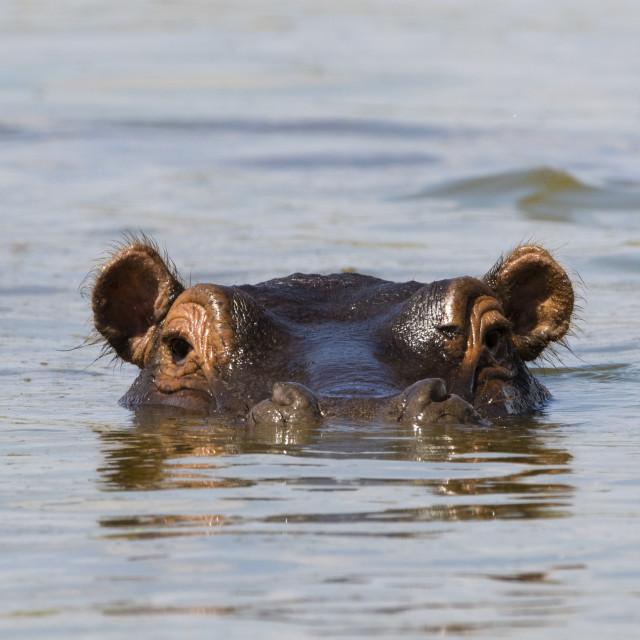 """An Hippopotamus, Hippopotamus amphibius., looking at the camera, Tsavo, Kenya."" stock image"