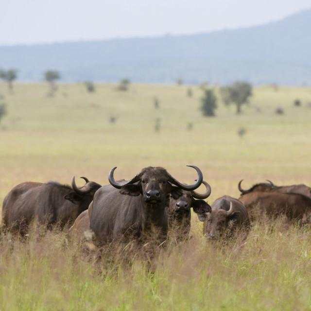 """African buffalos, Syncerus caffer, Tsavo, Kenya."" stock image"