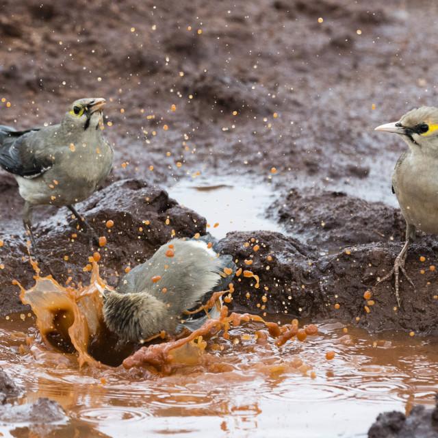 """Wattled starlings, Creatophora cinerea, in a water pool, Tsavo, Kenya."" stock image"