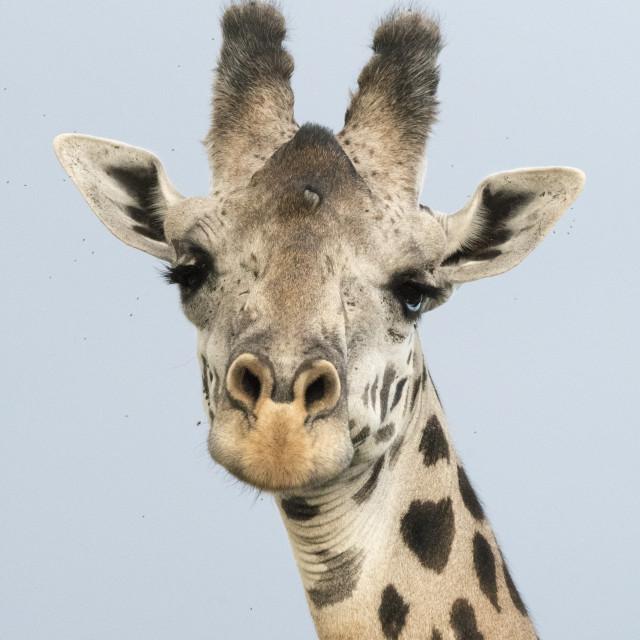 """Portrait of a giraffe, Giraffa camelopardalis, Tsavo, Kenya."" stock image"