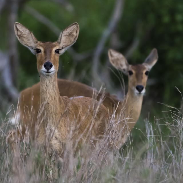 """Female impalas, Aepyceros melampus, Tsavo, Kenta."" stock image"