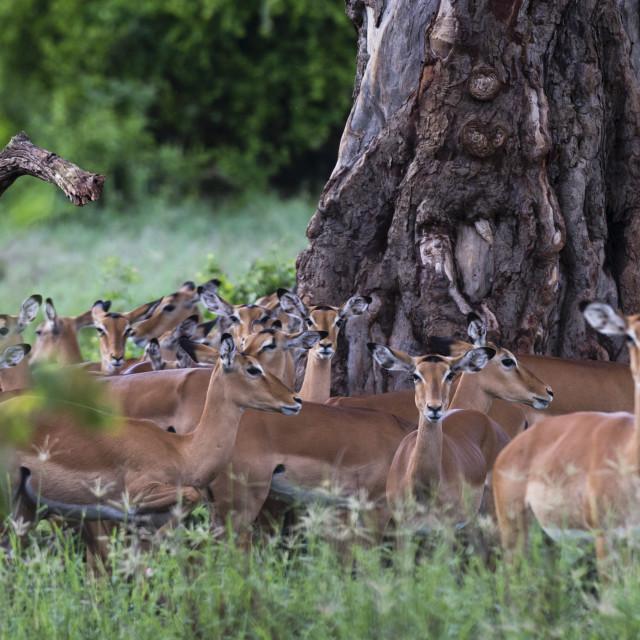 """An harem of female impalas, Aepyceros melampus, Tsavo, Kenta."" stock image"