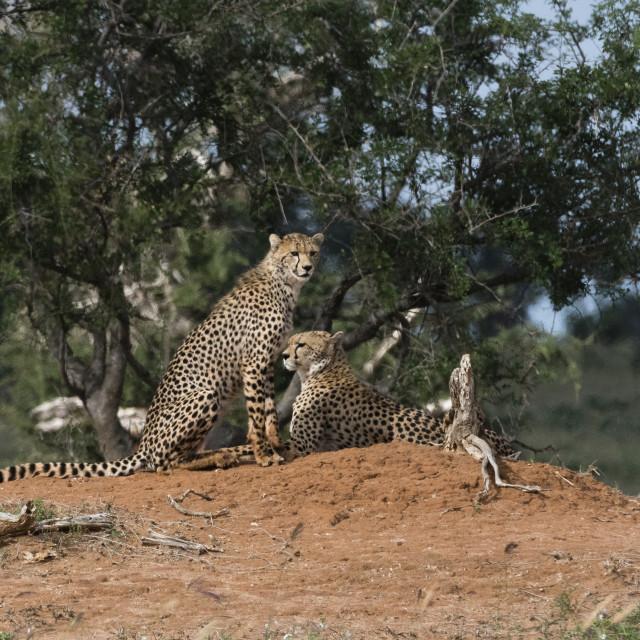"""Two cheetah, Acinonyx jubatus, on a termite mound., Tsavo, Kenya."" stock image"
