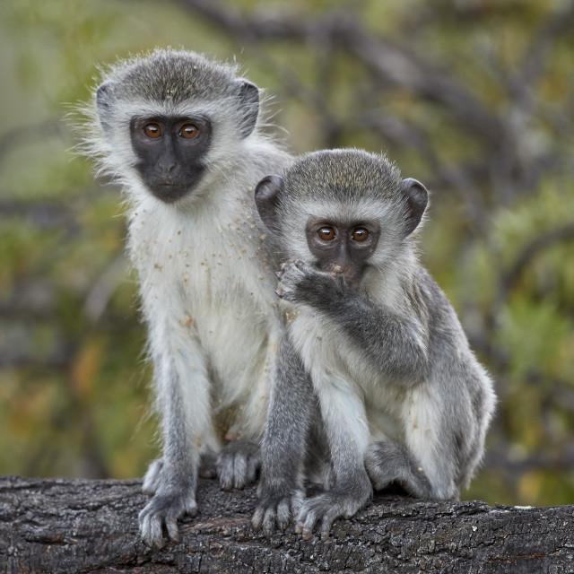 """Two young Vervet Monkey (Chlorocebus aethiops), Mountain Zebra National Park,..."" stock image"