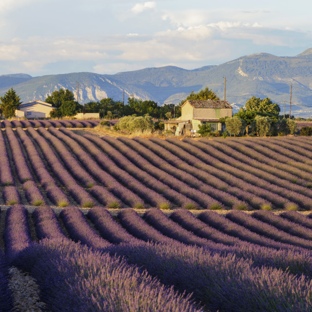 """Lavender fields on the Plateau de Valensole, Provence."" stock image"