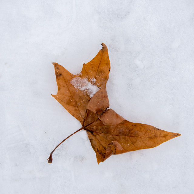 """""""close up on orange leaf on the ice and snow"""" stock image"""