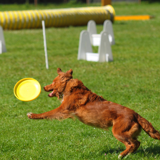 """""""agility jumping dog comepetition, brow border colie"""" stock image"""