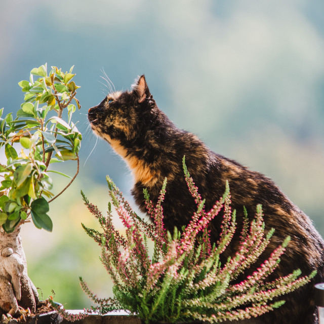 """""""cat in the balcony with flower and ficus bonsai tree"""" stock image"""