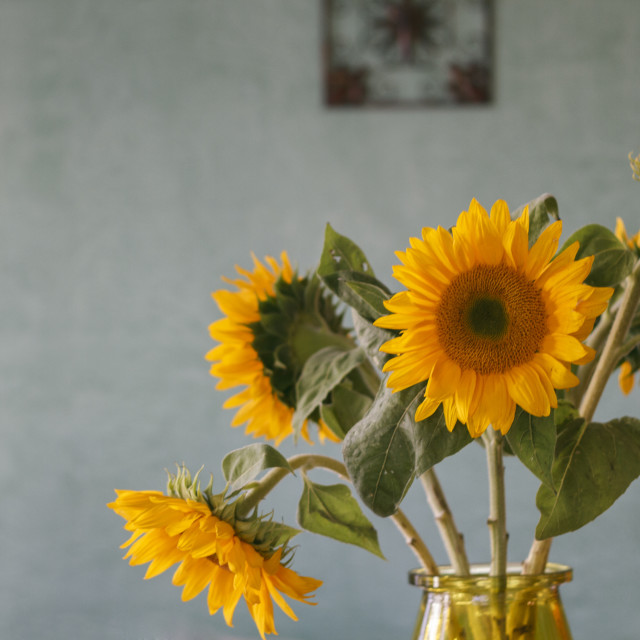 """""""Bouquet of Sunflowers with Textured Blue Wall in Background"""" stock image"""