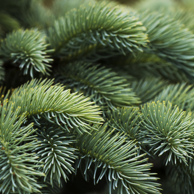 """Close-Up Of Norway Spruce (Picea Abies) Needles, A Popular Choice With..."" stock image"
