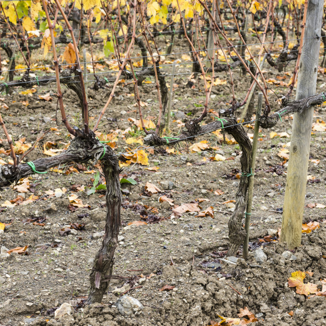 """""""Close-Up Of Harvested And Bare Tuscany Grapevine Rows At Ciacci Piccolomini..."""" stock image"""