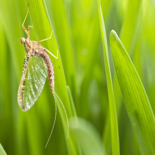 """Mayfly on grass"" stock image"