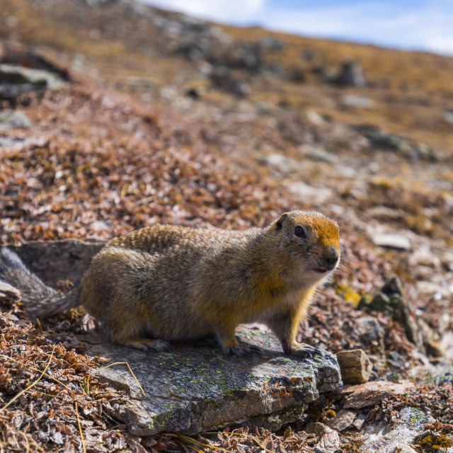 """""""An arctic ground squirrel (Spermophilus parryii) near the Savage Alpine Trail..."""" stock image"""