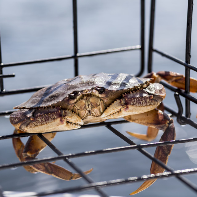 """""""A live small Dungeness crab (Metacarcinus magister) caught in a crab trap on..."""" stock image"""