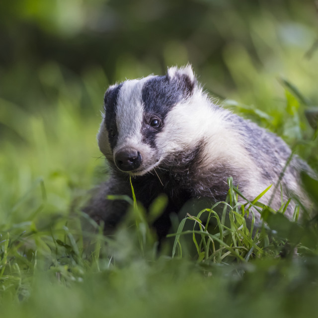 """A Badger (Mustelidae) sitting in the grass; Dumfries and Galloway, Scotland"" stock image"