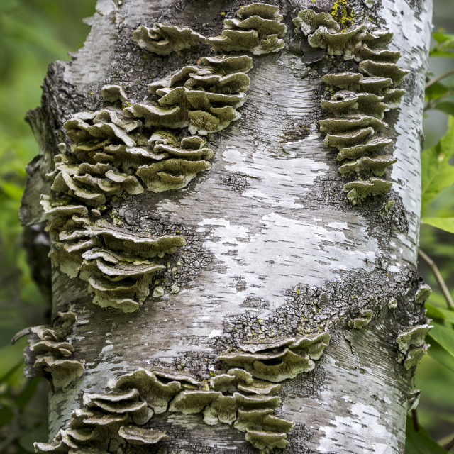"""Close-up of fungus on a birch tree trunk; Ontario, Canada"" stock image"
