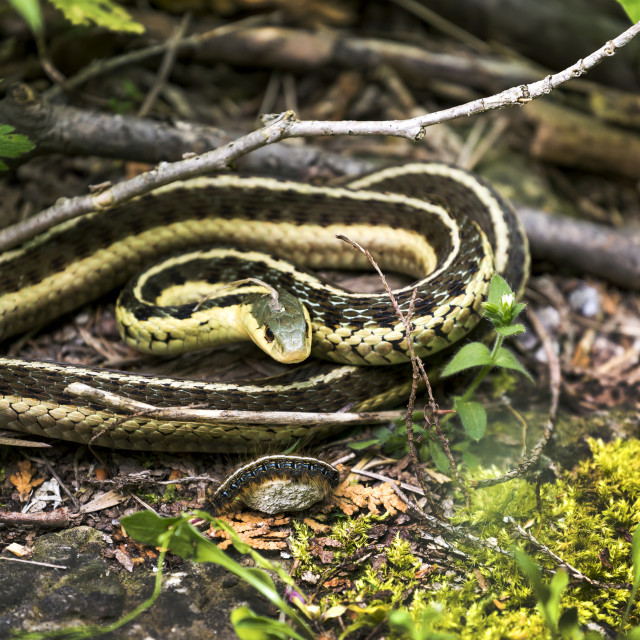 """""""Close-up of a garter snake (Thamnophis) on the ground; Ontario, Canada"""" stock image"""