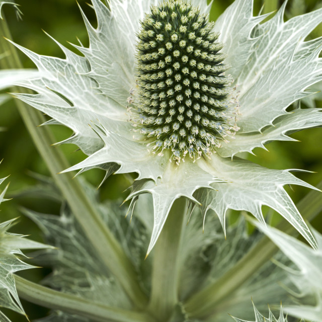 """Close-up of a thistle-like spiked plant with leaves; Calgary, Alberta, Canada"" stock image"