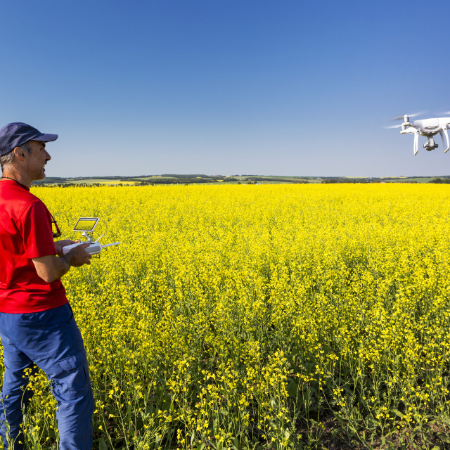"""Man flying a drone over a flowering canola field, North of Sylvan Lake;..."" stock image"