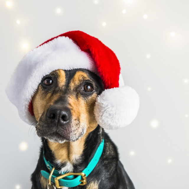 """Dog wearing a Santa Claus hat for a Christmas portrait"" stock image"