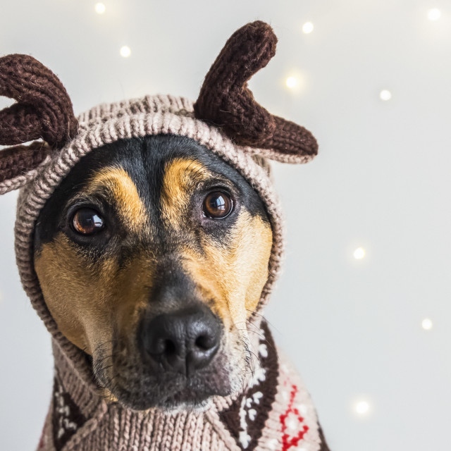 """A dog wearing a reindeer sweater and hoodie with antlers for a Christmas..."" stock image"