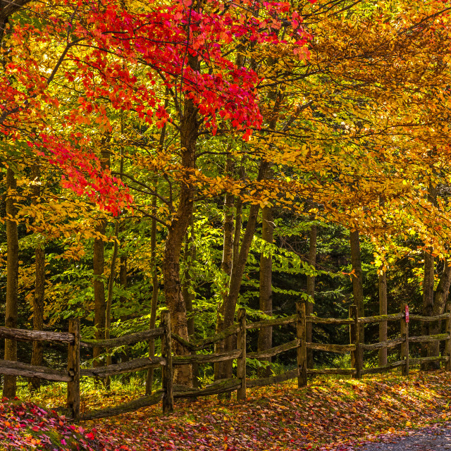 """Trees in vibrant autumn coloured foliage and a rail fence lining a dirt road;..."" stock image"